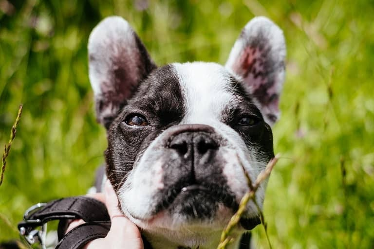 free stock photos french bulldog