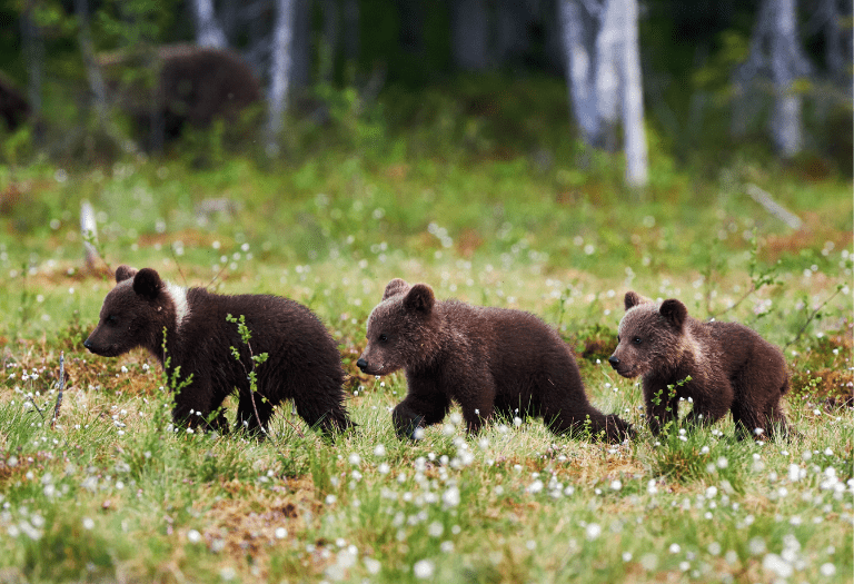 rule of three three bear cubs