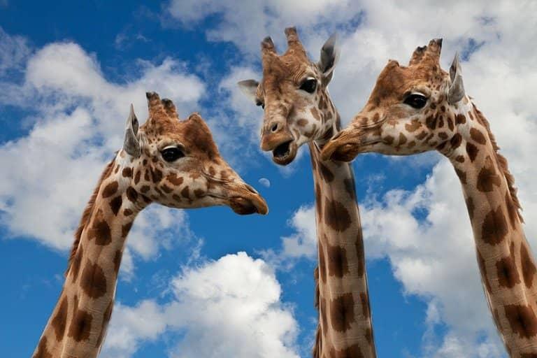 rule of three giraffes